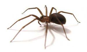 dedetização de aranha marrom em curitiba