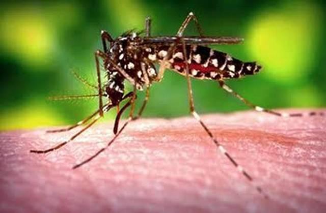 mosquito da dengue curitiba