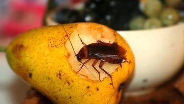 Conheça as principais doenças que são transmitidas por baratas