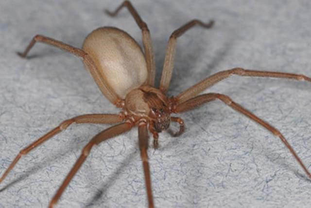 acidentes com aranha marrom em curitiba